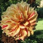 A gorgeous dahlia